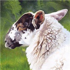 Sheep Portrait 3