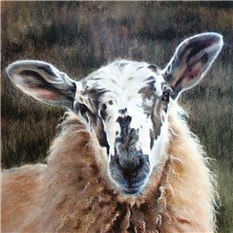 White-faced Sheep