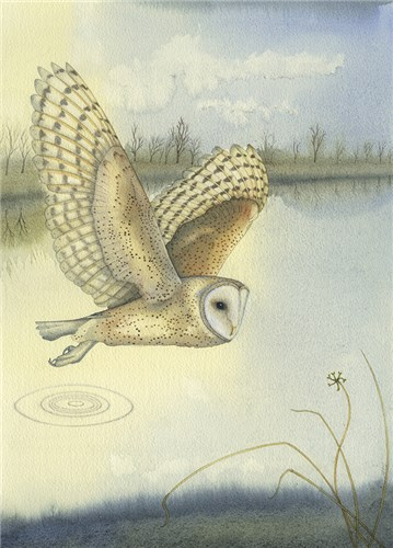 Barn Owl over the Wetland