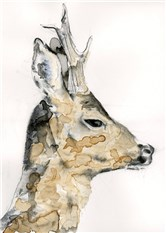 Head of a Buck