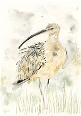 Curlew II